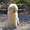 Loveable Labradoodles  Emmy Lou   ALAA - 032658