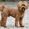 Loveable Labradoodles Luca's Royal Flush    ALAA-032663