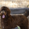 Loveable Labradoodles Lincoln Has it All   ALAA-033392