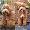 Loveable Labradoodles Mr. Ed  ALAA-033363