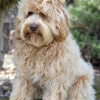 Loveable Labradoodles Tamsin  ALAA 032649