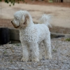 Loveable Labradoodles Tavia  ALAA-032549