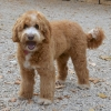 Loveable Labradoodles Pippen  ALAA -033432