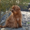 Loveable Labradoodles Touch of Ireland ALAA# 033438