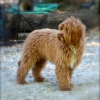 Mini Australian Labradoodles due late October / Go Home in December 2015