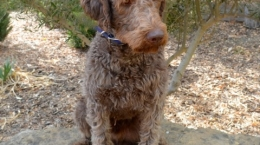 Loveable Labradoodles Then Came Bronson  ALAA - 033434