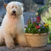 Loveable Labradoodles:  My Boy Elroy ALAA-046872