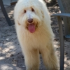 Loveable Labradoodles Ruggles ALAA- 045608