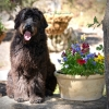 Loveable Labradoodles Jetson ALAA-046870