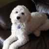 Loveable Labradoodles Jonzi  ALAA-034437