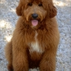 Loveable Labradoodles Red Baron   ALAA-033354