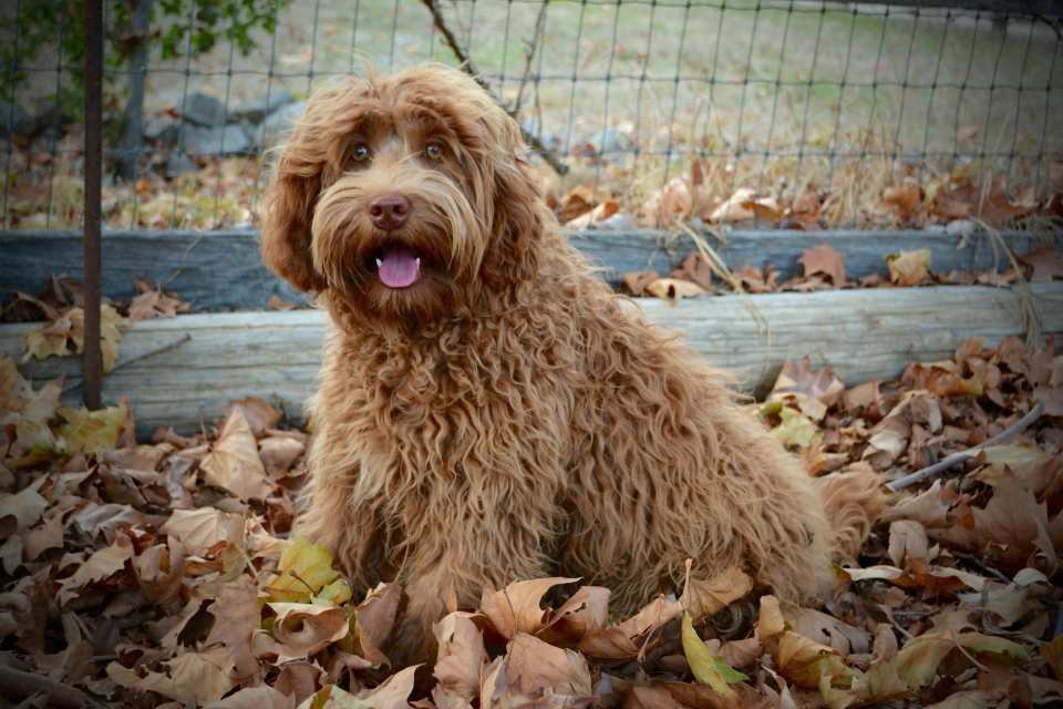 Lovable Labradoodles Murielle ALAA - 043103