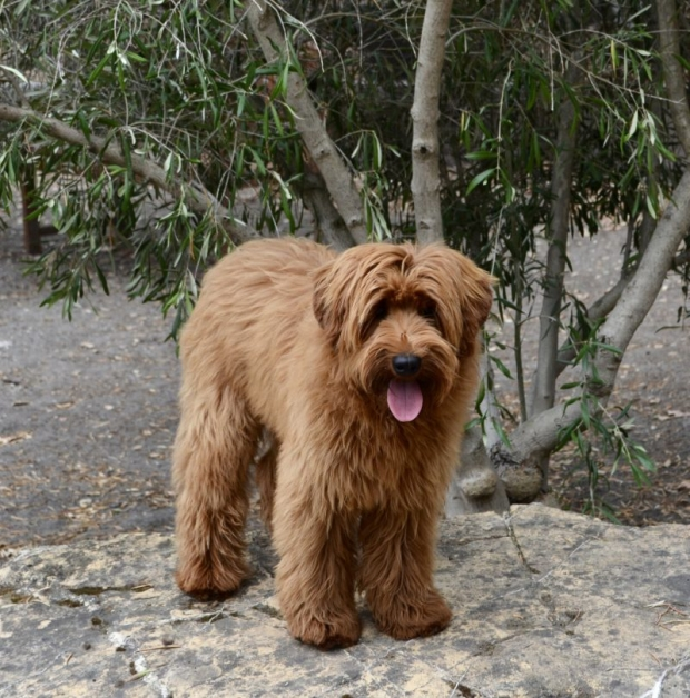 Loveable Labradoodles Red Hot Royce  ALAA- 058078