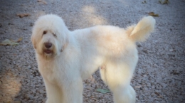 Loveable Labradoodles Pozo ALAA-063417